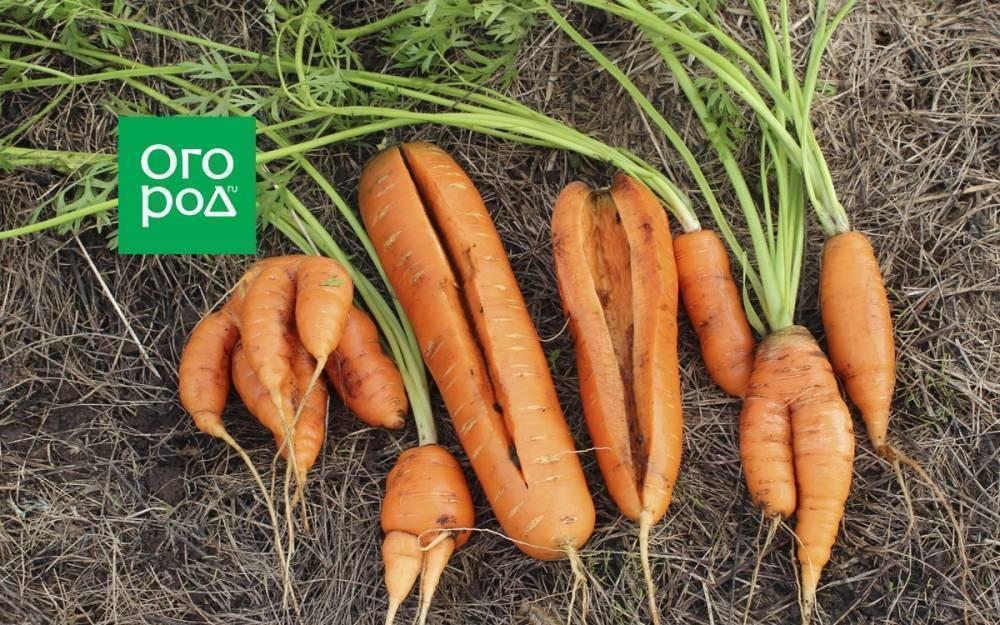 Что делать с мелкой и растрескавшейся морковью?