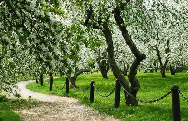 Когда цветут яблони в Коломенском парке в 2021 году