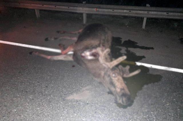 В Удмуртии в ДТП с лосем погибла 30-летняя женщина