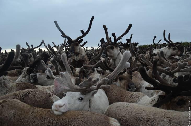 В массовой гибели северных оленей на Хатанге ученые подозревают браконьеров