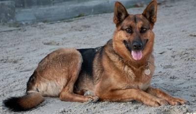 Собаки могут переносить коронавирусную инфекцию на шерсти
