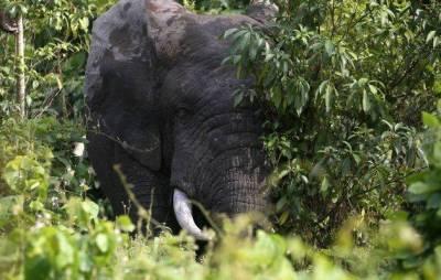 Ученые объявили о почти полном исчезновении слонов в Кот-д'Ивуаре
