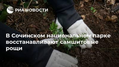 В Сочинском национальном парке восстанавливают самшитовые рощи
