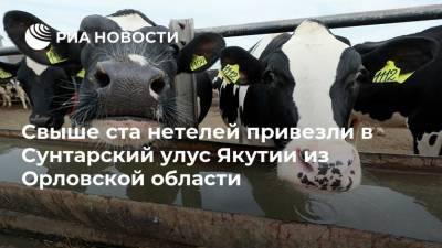 Свыше ста нетелей привезли в Сунтарский улус Якутии из Орловской области