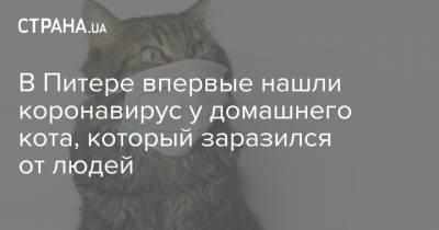 В Питере впервые нашли коронавирус у домашнего кота, который заразился от людей