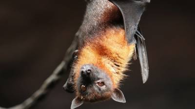 Ученые из Уханя рассказали правду об укусах летучих мышей