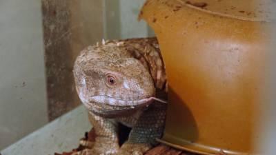 Сотрудники Калининградского зоопарка посадили варана на диету.