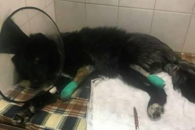 Томскому псу Барону с ампутированными лапами очень нужна помощь