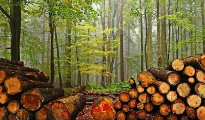 В Томске начнется суд над «черными лесорубами», продавшими лес почти на 500 млн руб