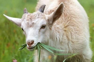 Пьяный житель Комсомольска-на-Амуре украл козу
