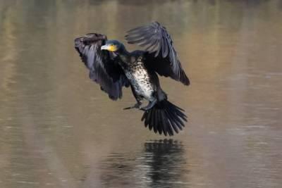 «Бакланы пожирают тонны рыбы»: жители Бурятии не согласны с учеными