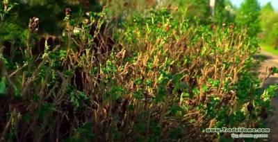 Живая изгородь из шиповника своими руками