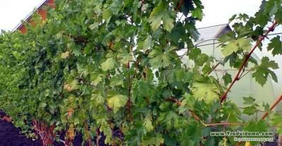 Виноградник своими руками – основные правила размещения и посадки