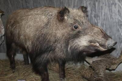 Для профилактики свиной чумы в Бурятии проверяют численность кабана