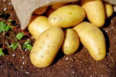 Доктор Мясников назвал ошибку при приготовлении картофеля, которая может привести к сильному отравлению