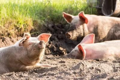 В Новосибирске прокуратура сделала замечание свинокомплексу «Кудряшовский» из-за вони
