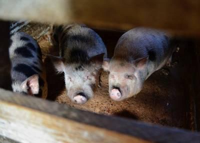 Ученые обнаружили у свиней экстраординарные умственные способности