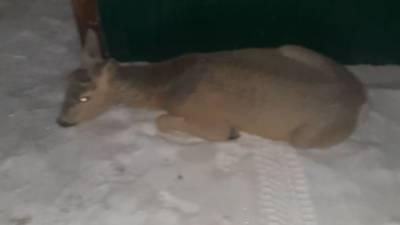 Дикую косулю спасли от стаи собак в Красноярском крае.