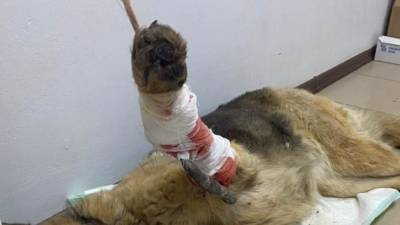 Застреленных собак с разорванными внутренностями нашли в Кировской области