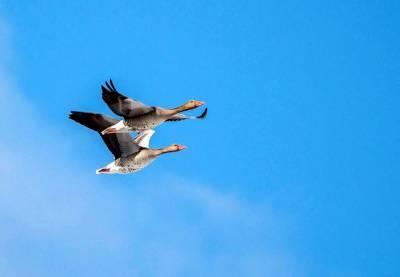 В Беларусь возвращаются перелетные птицы. Первыми стали серые гуси и чибисы