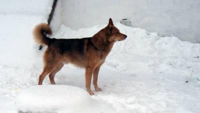 Вести. Стаи бродячих собак держат в страхе жителей села Томской области