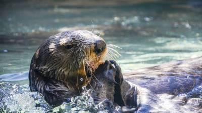 В американском океанариуме выдры заболели коронавирусом