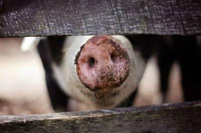 Африканская чума свиней обнаружена в одном из районов Киева