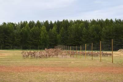 Минниханову устроили экскурсию по оленеводческому хозяйству в Елабуге