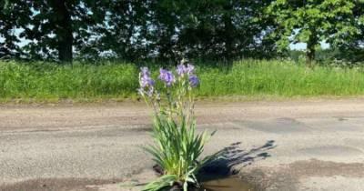 В Крыжополе на месте дорожной ямы высадили куст ириса (ВИДЕО)