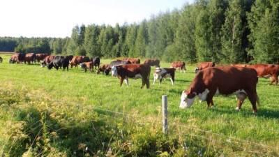 В Грузии наблюдается рост поголовья крупного рогатого скота