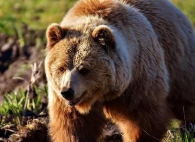 В Сахалине мужчина выжил после нападения «агрессивного» медведя