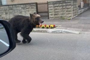 В Японии медведь пришел в город и атаковал четырех человек