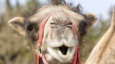 Верблюд-оракул Саламыч предрек итог матча между сборными России и Дании