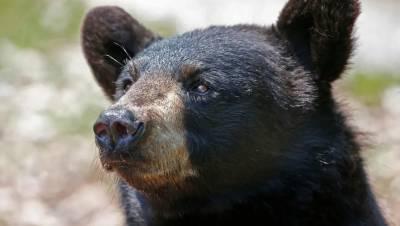 Медведь убил подростка в Красноярском крае