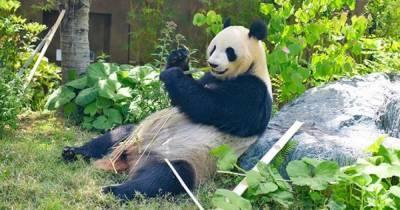 Гигантская панда Шин Шин в японском зоопарке родила близнецов