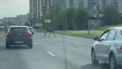 Лось напугал автомобилистов в Приморском районе Петербурга