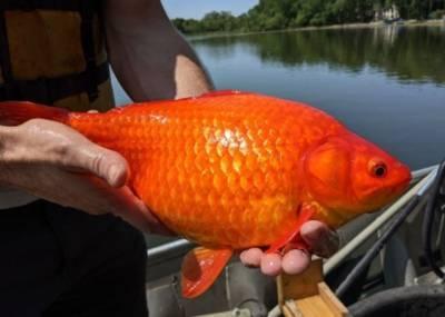 Курьез: В США рыбак поймал настоящую золотую рыбку (ФОТО)