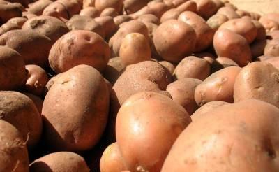 В Узбекистане намерены увеличить урожайность производимого картофеля как минимум на 30%