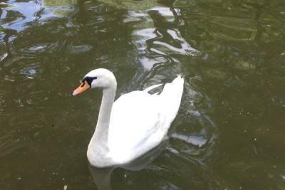 В Лопатинском саду в Смоленске подросток «подвинул» уток и лебедей