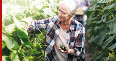 Какие огурцы можно собирать и когда это делать: простые правила для огородников