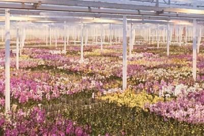 Под Смоленском появится целая плантация с орхидеями