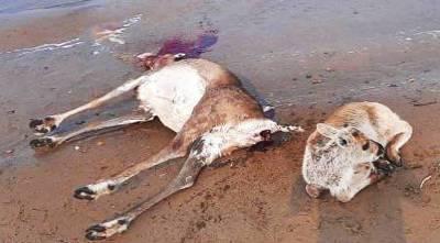 Более тысячи оленей погибли на Таймыре