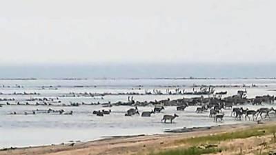 Вести. В Красноярском крае массово погибли дикие олени. Введен режим ЧС