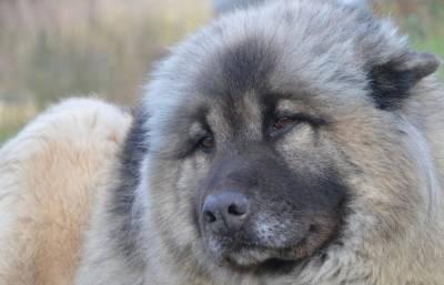 В России хотят обязать хозяев опасных собак покупать страховку