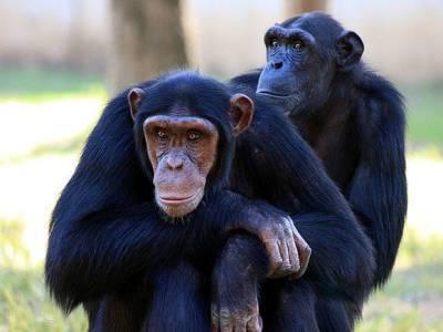 В итальянском зоопарке умер самый старый в Европе шимпанзе, не дожив год до 50-летия