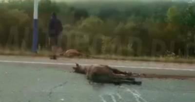 В Амурской области грузовик переехал лошадь с жеребятами