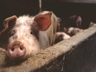 Новый короткометражный фильм демонстрирует жизнь глазами промышленных свиней