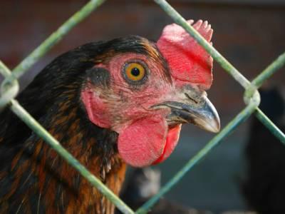 Правительство РФ расширило меры поддержки племенных птицеводов