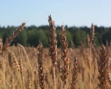 В Прикамье введён режим ЧС в связи с потерями урожая от засухи