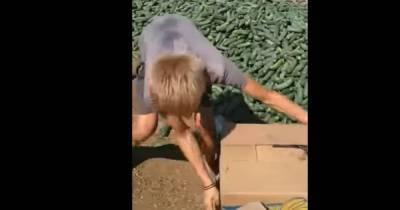 В Херсонской области из-за обвала цен фермер скормил овцам урожай огурцов (фото, видео)